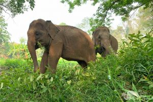 elephant heaven asian elephant projects elephant sanctuary chiang mai