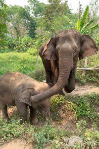 Elephant Heaven elephant tour chiang mai