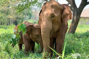young elephant with nanny at elephant sanctuary chiang mai