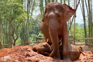 elephants takes a mud elephant sanctuary chiang mai