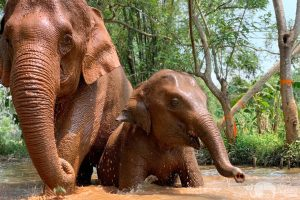 baby elephant and nanny take a mud bath elephant sanctuary chiang mai