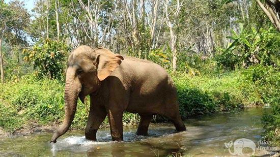 asian elephant projects elephant sanctuary chiang mai