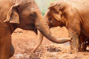 elephants mud bath elephant sanctuary chiang mai