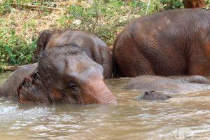 elephants bathing at elephant sanctuary