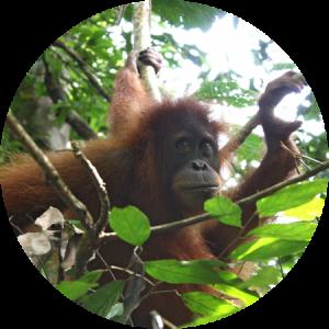 Orangutan sumatra