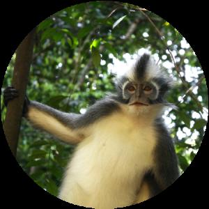 Thomas Monkey Bukit Lawang