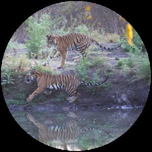 tiger cubs india