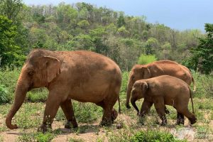 elephant family at elephant freedom chiangmai