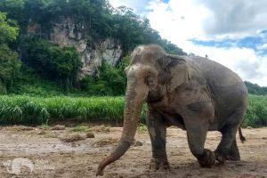 elephant freedom elephant sanctuary chiang mai