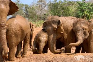 elephant herd play in the mud at elephant sanctuary chiang mai