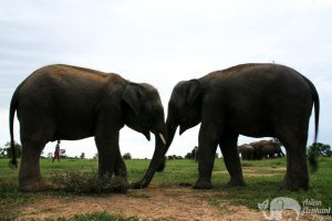 elephants in the late afternoon elephant sanctuary chiang mai