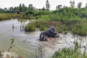 Elephants enjoy a bath at ethical elephant sanctuary near Surin in Thailand