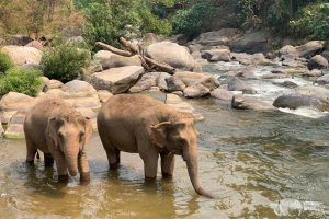 elephant relax at the river elephant sanctuary chiang mai
