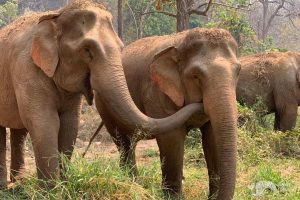 elephant carress elephant sanctuary chiang mai