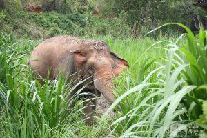 elephant grazes at chiang mai elephant sanctuary thailand