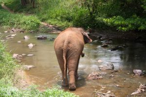 elephant walks in the stream at chiang mai elephant sanctuary thailand