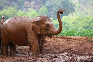 elephant flings mud at chiang mai elephant sanctuary thailand