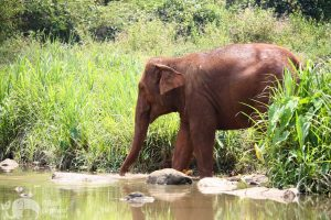 elephant crosses the river at chiang mai elephant sanctuary thailand