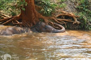 elephant relaxes in the river at chiang mai elephant sanctuary thailand