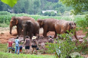 observing elephants at chiang mai elephant sanctuary thailand