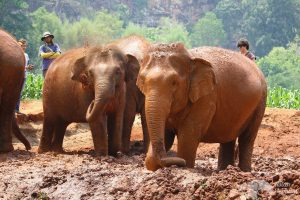 elephant take a mud bath at chiang mai elephant sanctuary thailand