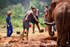 giving elephants a mud bath at chiang mai elephant sanctuary thailand