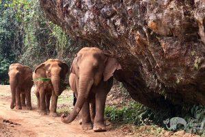 walking with elephants elephant sanctuary chiang mai