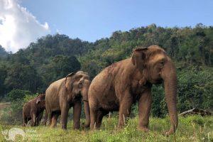 walking with elephants atelephant sanctuary chiang mai