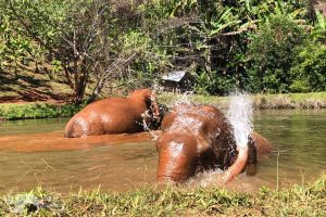 elephants bathing at elephant highlands observing elephants at elephant sanctuary chiang mai