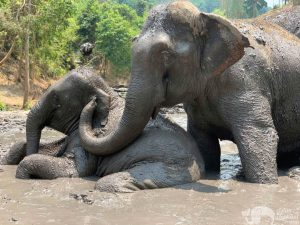 elephant mud bath chiang mai elephant sanctuary thailand