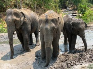 elephants take a mud bath at chiang mai elephant sanctuary thailand