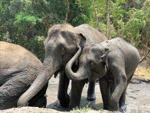 elephant friends bathe at chiang mai elephant sanctuary