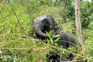 elephant foraging on bamboo at chiang mai elephant sanctuary