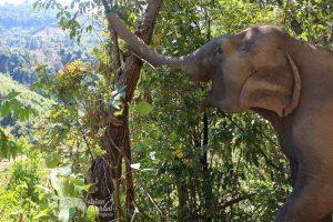 elephant foraging at chiang mai elephant sanctuary