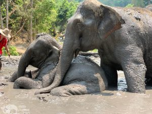 elephants taking a mud at chiang mai elephant sanctuary