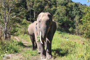 bull elephants elephant sanctuary chiang mai