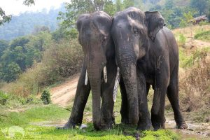elephant brothers at chiang mai elephant sanctuary