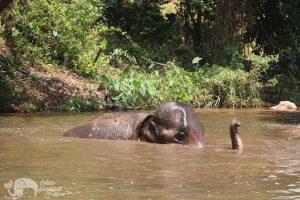 elephant bathing at chiang mai elephant sanctuary