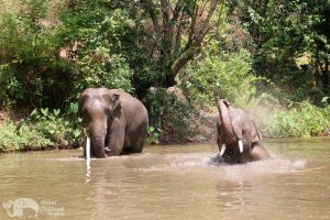 elephant play in the river at chiang mai elephant sanctuary