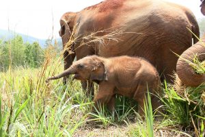 baby elephant with mother and nanny elephant sanctuary chiang mai