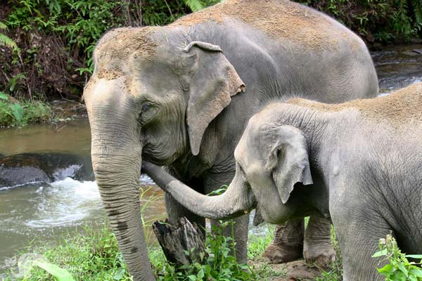 elephant friends at chiang mai elephant sanctuary