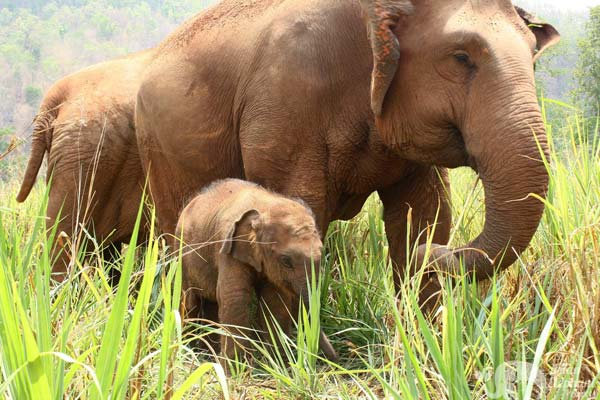 mother and baby elephant at chiang mai elephant sanctuary