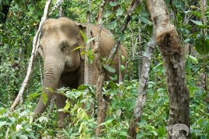 elephant foraging at chiang mai elephant sanctuary thailand