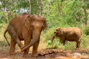 rescued elephants at chiang mai elephant sanctuary thailand