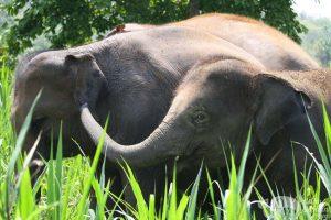 elephant love elephant sanctuary chiang mai
