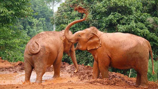 elephants play in the mud at save thai elephant chiang mai