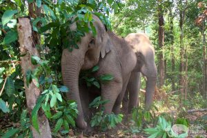 elephants forage at elephant sanctuary chiang mai