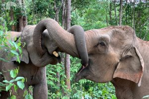 elephant communicate at elephant sanctuary chiang mai