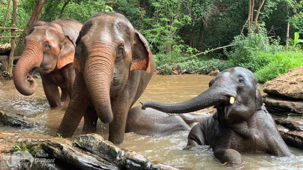 elephant bathe in the jungle at elephant sanctuary chiang mai