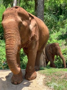elephants walking at elephant sanctuary chiang mai